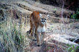 mountain lion cougar looking at the camera in brush and on rock November 2004