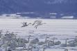 trumpeter swans landing others in snow medium shot