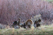 Flock of Wild Turkeys feeding
