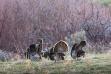 Flock of Wild Turkeys feeding