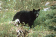 black bear walking in grass