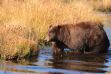 brown bear in water September 2010