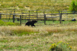 medium shot of a grizzly in a pasture September 2008