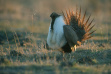 sage grouse with fan tight shot