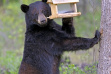 black_bear_in_bird_feeder