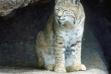 bobcat on ledge in rocks