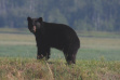 black bear in the Boundary Creek WMA Wildlife Management Area August 2015