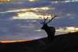 bull elk at sunset August 2011