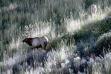 bull elk grass hillside