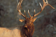 bull elk with grass on antlers head shot