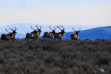 herd of bull elk in sage brush medium shot December 2012