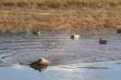 medium shot of a hunting dog retrieving a duck on the Coeurd'alene River November 2010