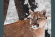 Living with Mountain Lions brochure