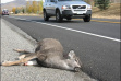 Dead deer lying on side of road after hit by vehicle in Idaho
