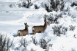 doe and fawn mule deer deep in snow