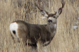 mule deer buck in grass