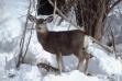 mule deer doe in snow January 2005