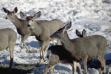 herd of mule deer eating alfalfa in snow during Winter feeding