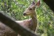 mule deer in trees head shot May 2014