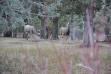 mule deer buck and doe in trees medium shot November 2012