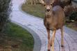 three mule deer in a neighborhood urban wildlife January 2014