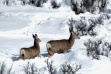 doe and fawn mule deer in bitter brush during a snowy Winter