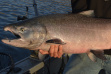 Fall Chinook salmon, Snake River, Clearwater Region, Idaho