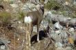 mule deer in Stanley Basin September 2008