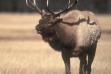 bull elk bugling November 2007