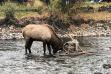 elk_in_big_wood_river_with_hammock_in_antlers