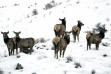 herd of cow elk in snow medium shot