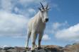 Mt goat Scotchman Peak