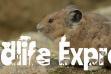 Wildlife Express Pikas Banner: November 2019