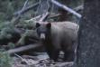 Bear baiting video screenshot