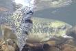 Chinook Salmon Spawning / Photo by Scott Putnam