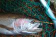 Clearwater Steelhead in net