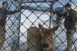 Calf elk in Clover trap