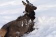 Elk after capture and release.