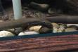 Pacific Lamprey MKNC