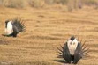 sage_grouse