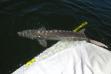 Snake River white sturgeon leaves sling