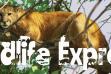 Wildlife Express Banner: Mountain Lion