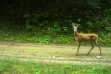White-tailed deer on road