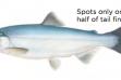 Kokanee salmon / Image by Joseph Tomelleri