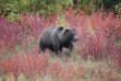 grizzly walking in Fall colored bushes August 2011