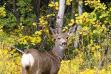 Georgetown Summit Wildlife Management Area WMA mule deer doe in aspens in full color