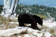 black bear walking on rocks with hill in background