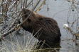 Beaver in the willows