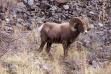 Bighorn sheep on rockslide