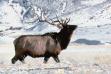 bull elk in snow small photo